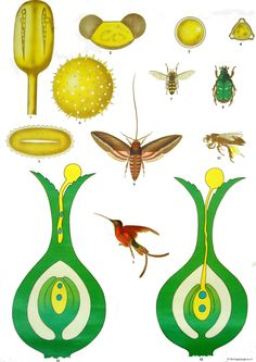 Bestuiving Biology Lessons, Fauna, Botanical Illustration, Seeds, Busy Bags, Templates, Schools, Flowers, Brain