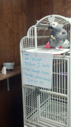 Bird Shaming, Kebo. African greys are known to pull pranks--watch out!