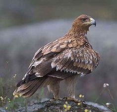 Aguila Imperial Ibérica ( Akilas adalberti )