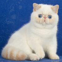 Photo of Exotic shorthair