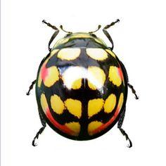 Cheilomenes sulphurea is a member of an Old World genus of ladybirds/ladybugs.