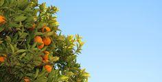 Potatura degli agrumi: come effettuarla correttamente e in quale periodo