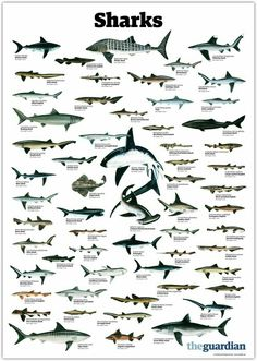 Sharks: The Sharks of the Word Chart.