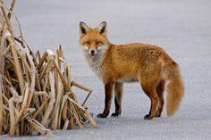Fox on ice | Flickr - Photo Sharing!