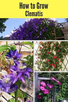 to grow clematis with this easy guide! This low-maintenance perennial is perfect for growing on a trellis and along a wall!how to grow clematis with this easy guide! This low-maintenance perennial is perfect for growing on a trellis and along a wall! Clematis, Clematis Vine, Flower Garden, Beautiful Flowers Garden, Trellis Plants, Perennials, Plants, Clematis Trellis, Low Maintenance Garden