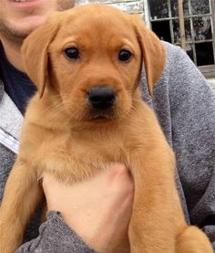 red Lab Puppies - Bing Images
