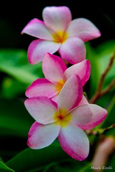 Plumeria's are so beautiful. Trying to grow a few plants here in Texas.