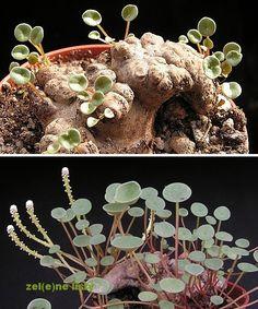 Peperomia macrorhiza