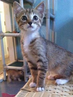 Adopted******Meet Iggy, a Petfinder adoptable Calico Cat | Brookhaven, MS | Iggy is around 8 weeks old.(06/14/2015). She is a Calico/Tabby Mix.Vet checked, wormed, spayed or...