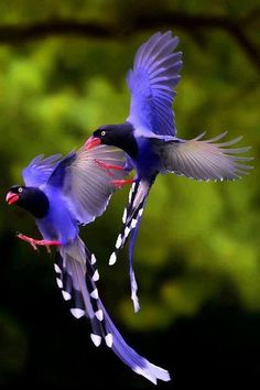 Twain Blue magpie