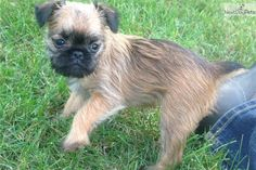 You'll love this Female Brussels Griffon puppy looking for a new home.