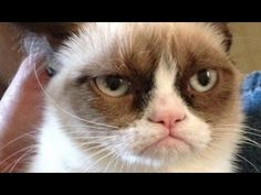 Grumpy Cat becomes Internet sensation | Meet 'Tardar Sauce,' the grumpy ...