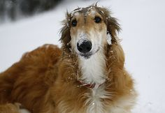 9 months old Borzoi-puppy