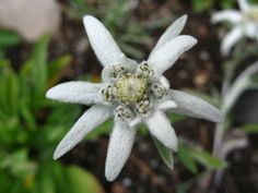 Pinner wrote: The plant they sing about in The Sound of Music. I love Edelweiss Latin: Leontopodium alpinum Edelweiss, Endangered Species, Sound Of Music, Little White, Mother Earth, White Flowers, Switzerland, Outdoor Gardens, Garden Sculpture