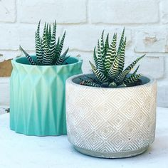 Two Zebra Haworthia Succulents in Blue & Tan Planters How To Water Succulents, Cacti And Succulents, Planting Succulents, Cactus Plants, Planting Flowers, Succulent Landscaping, Succulent Gardening, Container Gardening, Succulent Care