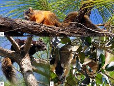 The Big Cypress fox squirrel (Sciurus niger avicennia) is a unique subspecies of the Eastern fox squirrel (Sciurus niger) found south of the Caloosahatchee River and west of the Everglades region of Florida.