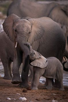 elephant calf checking in with mom