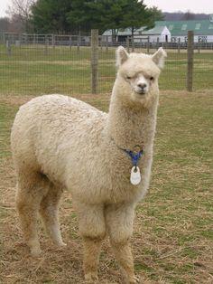 Would love an alpaca!