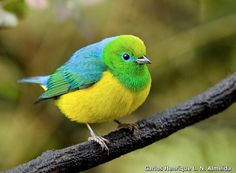 Blue-naped Chlorophonia (Chlorophonia cyanea) South America