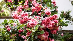 Alte rosane Rosen | Rosen . Garten . roses . garden | Rheinland . Eifel . Koblenz . Gut Nettehammer |