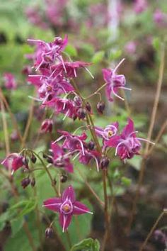 Epimedium Cherry Blossom (Cherry Blossom Fairy Wings) bought 2013