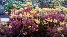 Terasımdaki çeşitli renkteki sardunyalarıma sarı renkli canlı çiçekleriyle ayrıca bir renk katan ve onları tamamlayan KALANCHOE çiçeğim saksısında daha da güzelleşince harika bir görüntü vermiyor mu?