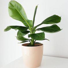 Lekker genieten allemaal van het lange weekend!#myelho #bananenplant | Content shared via elho Inspiration Gallery