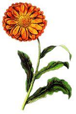 Nechtík Lekársky   Zdravie z Božej lekárne Healing Herbs, Korn, Homemade, Plants, Medicine, Medical, Flora, Medicinal Plants, Hand Made