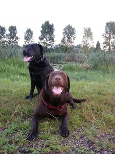 Love my labradors! # labradors