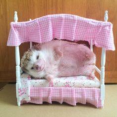 Today I don't feel like doing anything~ I just wanna lay in my bed Welcome my new bed #hedgehog #ハリネズミ #고슴도치 #刺蝟 #Igel #haérisson #erizo #เม่น #еж #love #lovely #cute #pet #hedgehogs #animal #petsagram #cute #animals #sleep #sleeping #sleepingbeauty #sweetdreams #dreaming #sleeptight #goodnight #sleepy #lazy #lazysong #fatpig #saturday #holiday