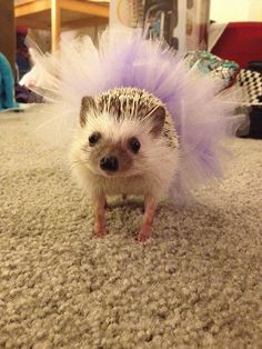 a hedgehog in a tutu!!!!  omg mind exploding from cuteness