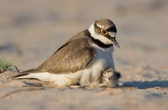 Little ringed plover with chick.