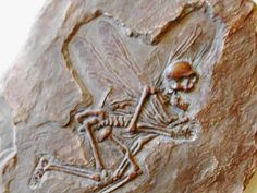 fairy fossil  American Dime Museum. Baltimore, Maryland (sadly, now closed) Could this be part of the Colmore Collection?