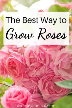 Roses are great flowering shrubs and plants to add to any garden. Climbing roses look beautiful growing on a trellis. Learn more about growing roses in this post. #growroses #climbingroses #rosegarden #roseshrubs Beautiful Flowers Garden, Amazing Flowers, Gardening For Beginners, Gardening Tips, Floribunda Roses, Rose Care, Types Of Roses, Growing Roses, Hybrid Tea Roses