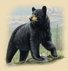 Black Bear Facts, Information, and Photos Bear Paintings, Wildlife Paintings, Wildlife Art, Bear Photos, Bear Pictures, Grizzly Bear Tattoos, American Black Bear, Black Bear Cub, Bear Drawing