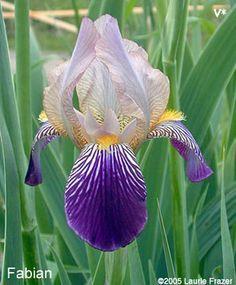 Fabian   Historic Iris Preservation Society