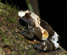 Bird-poo camouflaged frog (Theloderma asperum), Vietnam