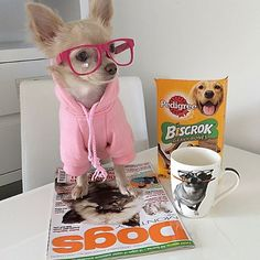 Lazy Saturday catching up with my copy of dogs monthly  #chihuahua #chihuahuas #chihuahualove #chihuahuasofig #chihuahuafanatics #beautiful #puppy #dog #dogstagram #dogsandpals #dogsmonthly #dogsofinsta #dogsofinstagram #dogs_of_instagram #dogscorner #dogsoninstagram #dogsofinstaworld #lazy #saturday #weekend #love #disney #princess #frozen #Elsa #bestoftheday #bestfriend #coffee