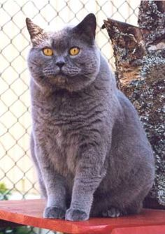British Shorthair-reminds me of my cat Sassy.