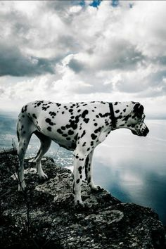 #Dalmatian #Dalmatiner #Black #and #White #Badweather #bad #weather #cold #water #clouds #stone #sea