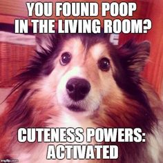 With Shelties, cuteness is a SUPERpower!