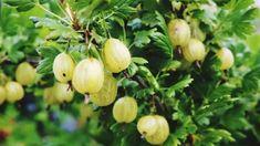 Low Calorie Fruits, Low Calorie Snacks, Healthy Fruits, Healthy Snacks, Healthy Recipes, Gooseberry Health Benefits, Gooseberry Bush, Fresh Bay Leaves, Kitchen Plants
