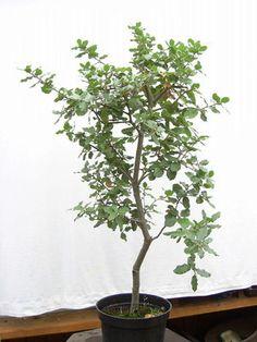 Quercus ilex Stein-Eiche