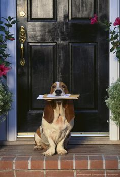 Basset Hound Waiting with the Mail
