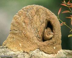 Oven bird nest