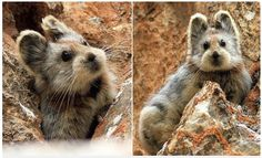 Известно, что это животное не что иное, как помесь плюшевого медведя и приятного кролика. И это восхитительно. Это крайне редкое млекопитающее называется…