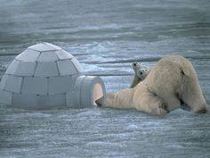 .polar bear mother and her cubs
