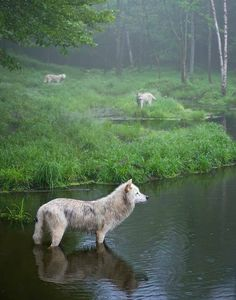 Three weary wolves, Omega Park by Daniel Parent