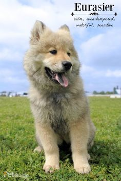 Though the Eurasier is not overly active, it is still an intelligent and highly trainable breed.