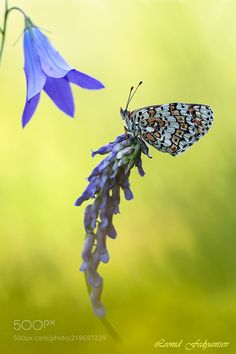Under The Blue Bell. Melitaea Didyma. - The spotted fritillary or red-band fritillary (Melitaea didyma) is a butterfly of the Nymphalidae family. Melitaea didyma is a medium size butterfly with a wingspan reaching 3550 millimetres (1.42.0 in).